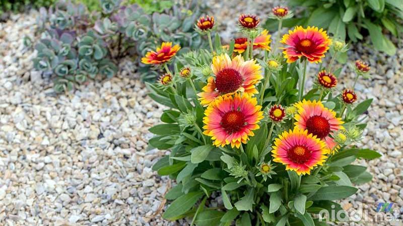tanaman hias bunga gaillardia