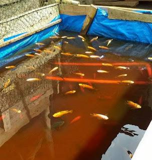 Ternak Ikan Nila dengan Terpal