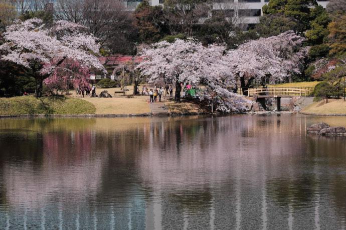 9. ทัวร์โตเกียว ชมซากุระที่สวนโคระคุเอน