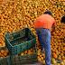 Preocupan posibles mermas a citricultores de Tamaulipas