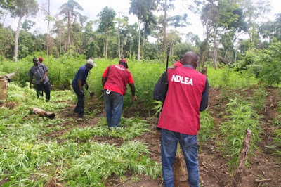 NDLEA Destroys Cannabis Farm