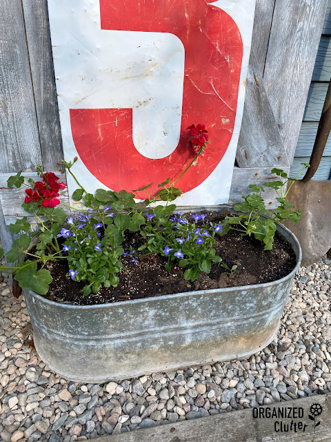 Photo of a galvanized tub planted with ivy geraniums and lobelia