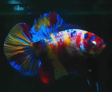 Perbedaan Ikan Cupang Koi Dan Fancy Cupang Sehat