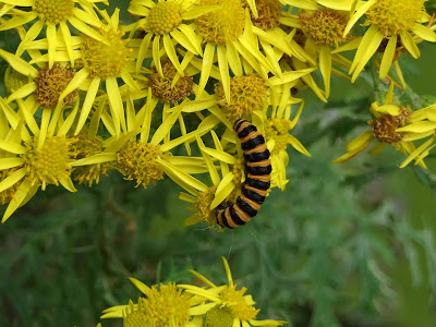 Cinnabar moth caterpillar on ragwort