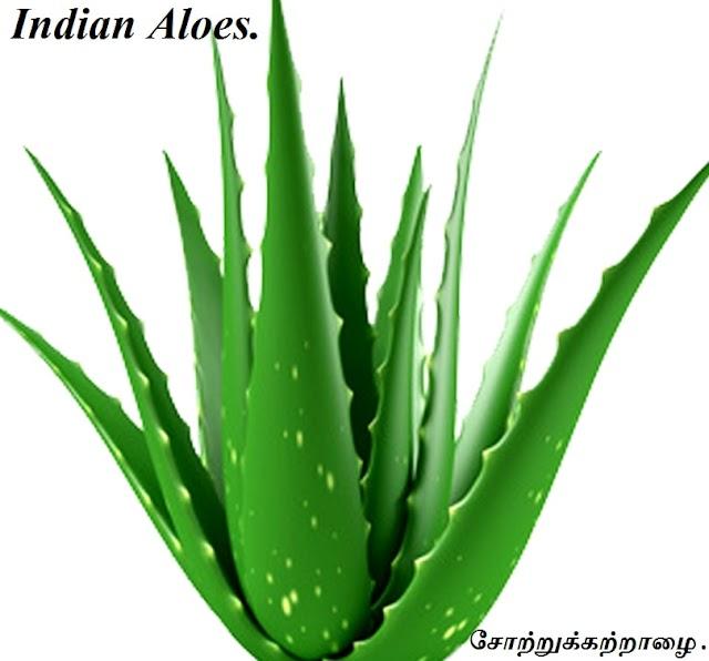 சோற்றுக்கற்றாழை - Indian Aloes - Part 1.