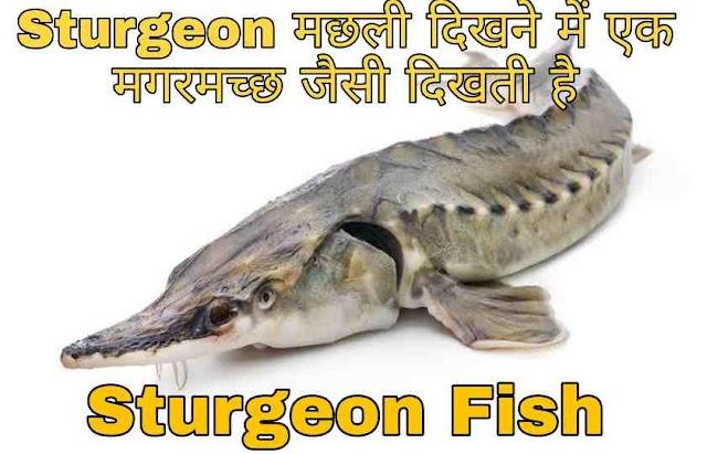 Sturgeon fish मछली क्या है और ये कैसे दिखती है ?