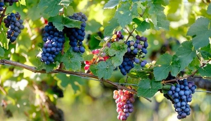 Cara Budidaya Tanaman Buah Anggur