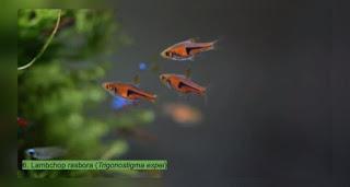 Cara Memelihara Ikan Hias Lambchop Rasbora