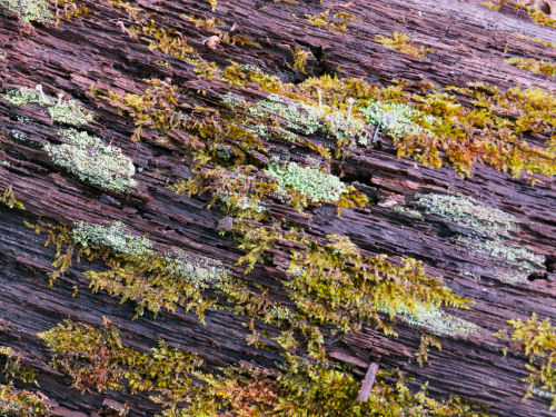 moss and lichen on a log