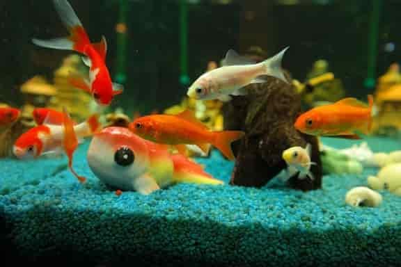 Fancy goldfish tank setup