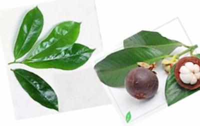 Manfaat Manggis, Akar, Kulit Pohon, Dan Daunnya Bagi Kesehatan