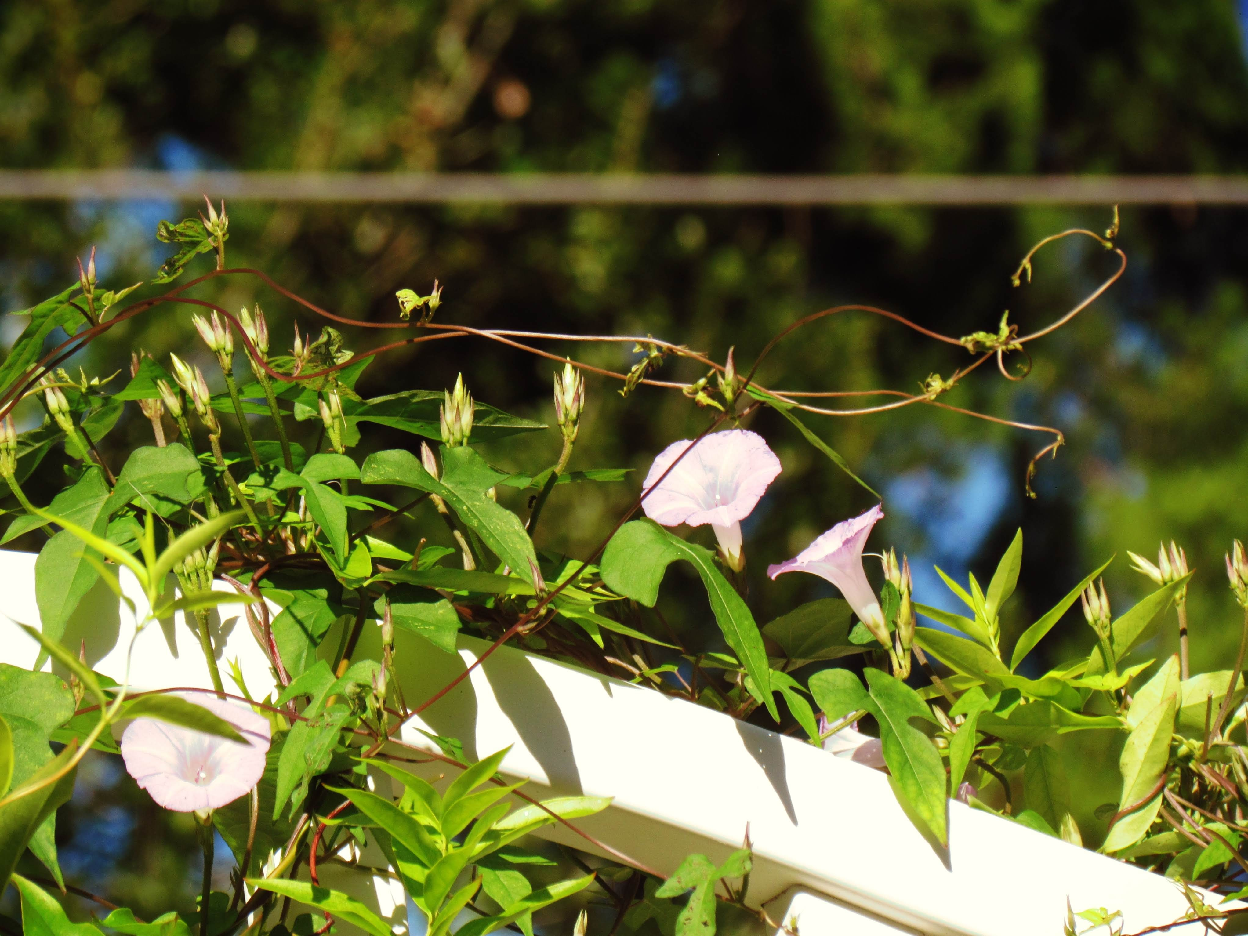 A white trellis in the butterfly garden of Hammock Park in Dunedin, Florida with purple trumpet flowers that speak of love, romance, and deep spiritual relationships