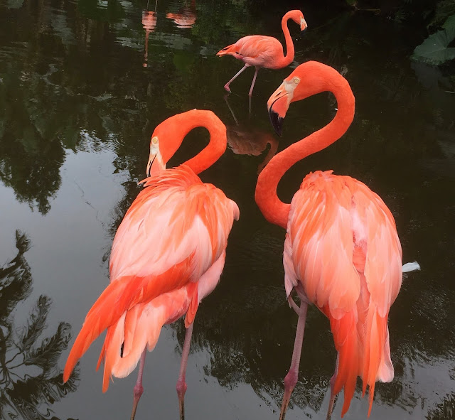 Flamingos at Flamingo Gardens in Davie, FL