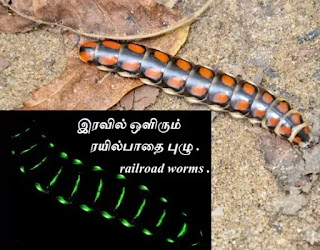 railroad worm - Bioluminescence.
