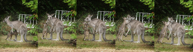 Kangaroo in backyard with Joey