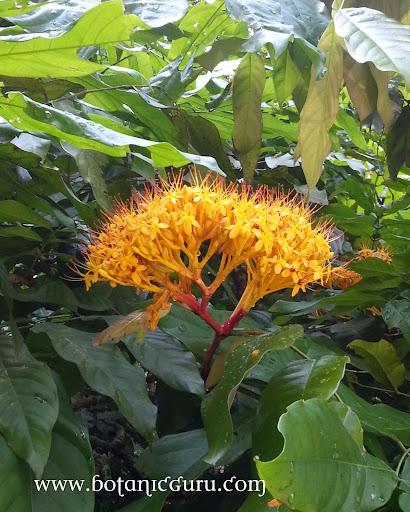 Saraca thaipingensis, Yellow Saraca flowers