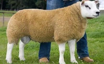 domba termahal di dunia