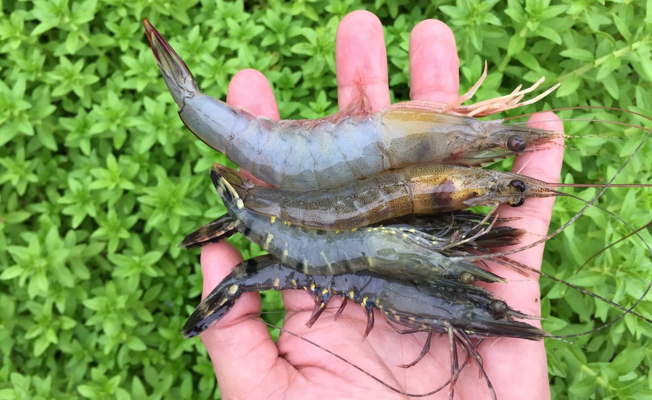 Fermented bagasse helps shrimp healthy