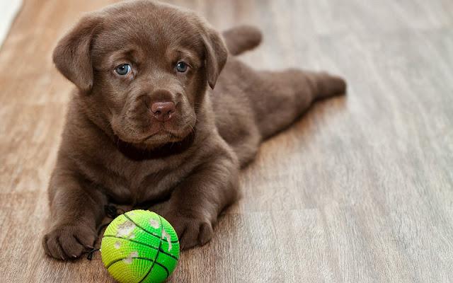 Jonge puppy met een bal