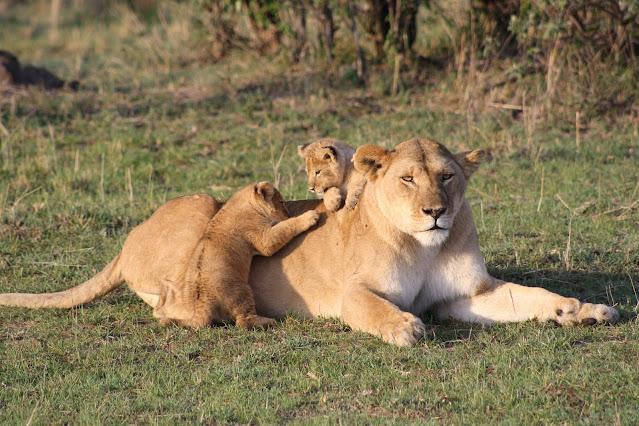 Lion Reproduction