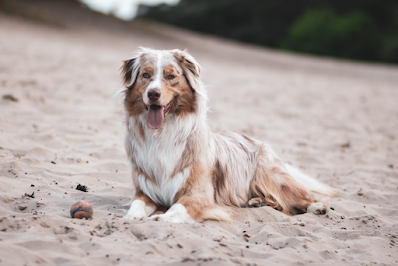 A brown, white and merle Australian Shepherd is lying on sand
