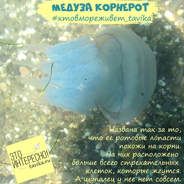 почему медузу корнерот так назвали