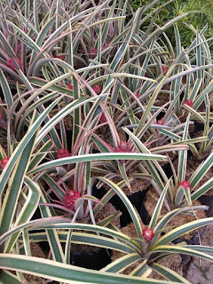 Jual Tanaman Nanas Merah Hias (Red Pineapple)