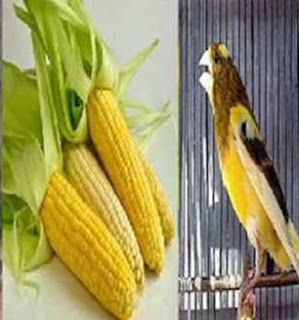 5 Khasiat Manfaat Pemberian Jagung Muda Untuk Burung Kenari Yang Sudah Terbukti