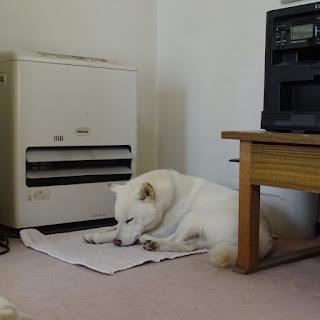 ストーブの前で寝ている白柴チロ