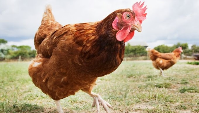 Husband admits having s.e.x with chickens three times while his wife filmed it