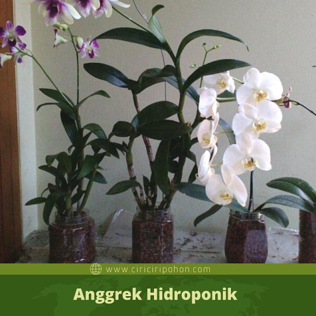 Ciri Ciri Pohon Anggrek Hidroponik