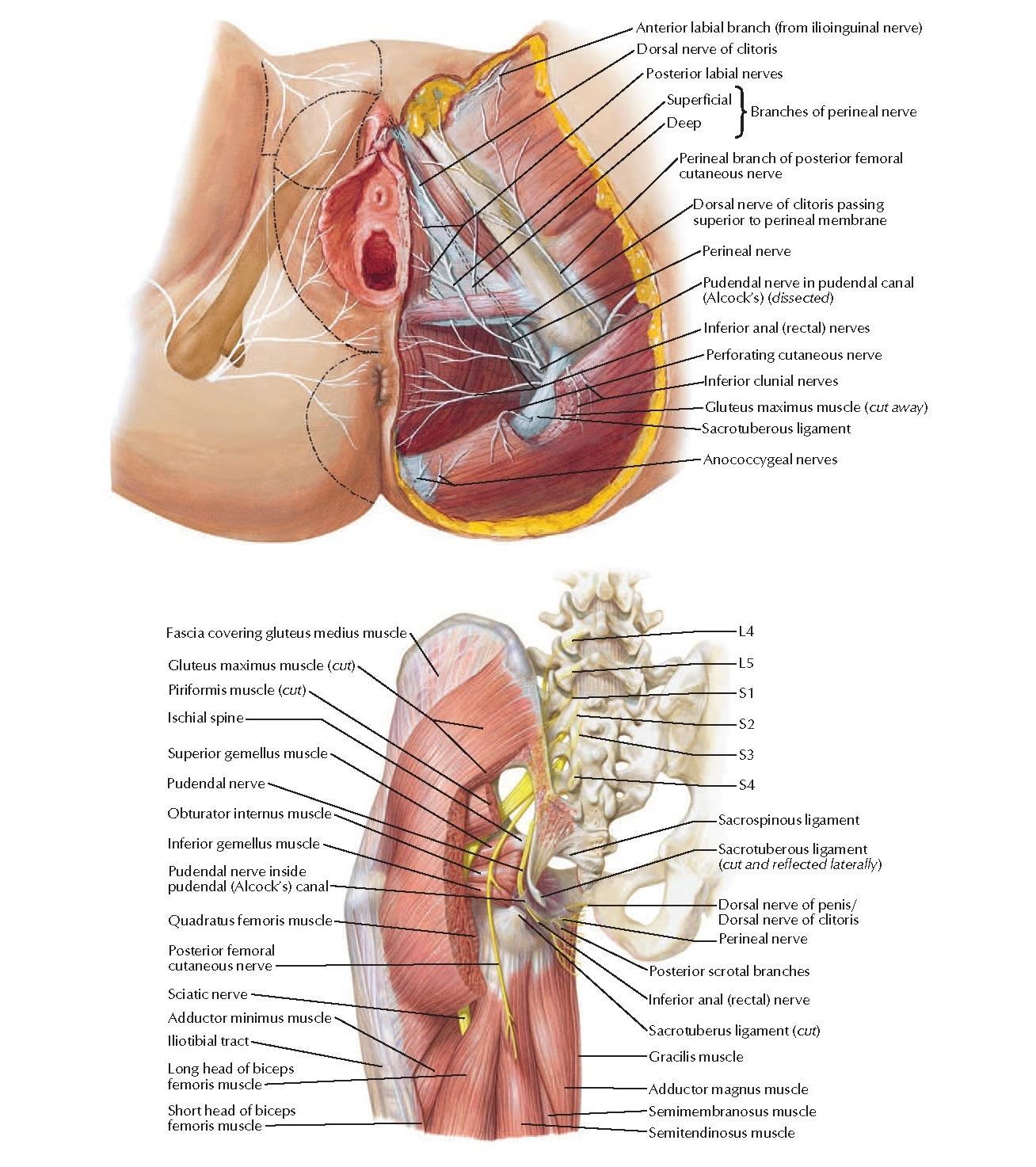 Nerves of Perineum and External Genitalia: Female Anatomy