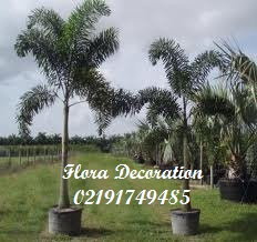 harga jual palm ekor tupai murah