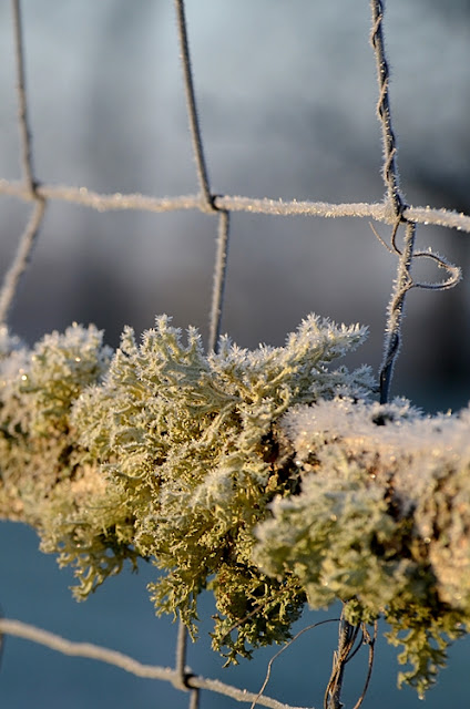 lichen glace grillage jardin hiver givre