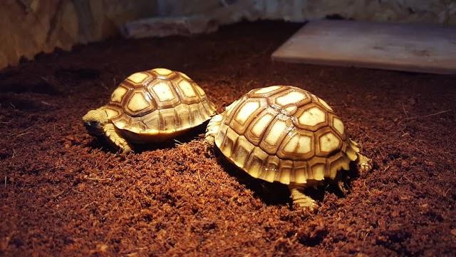 Chất nền lót chuồng rùa cạn