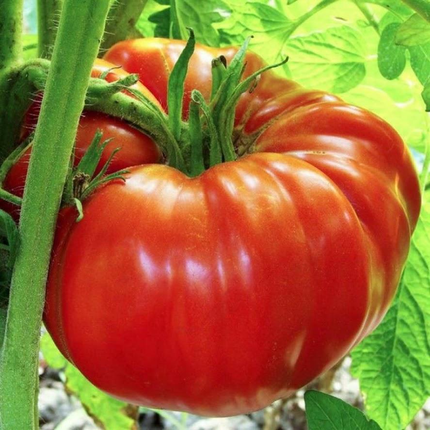 Daily Farm Benih Tomat Tomato Red Beefsteak Pematangsiantar