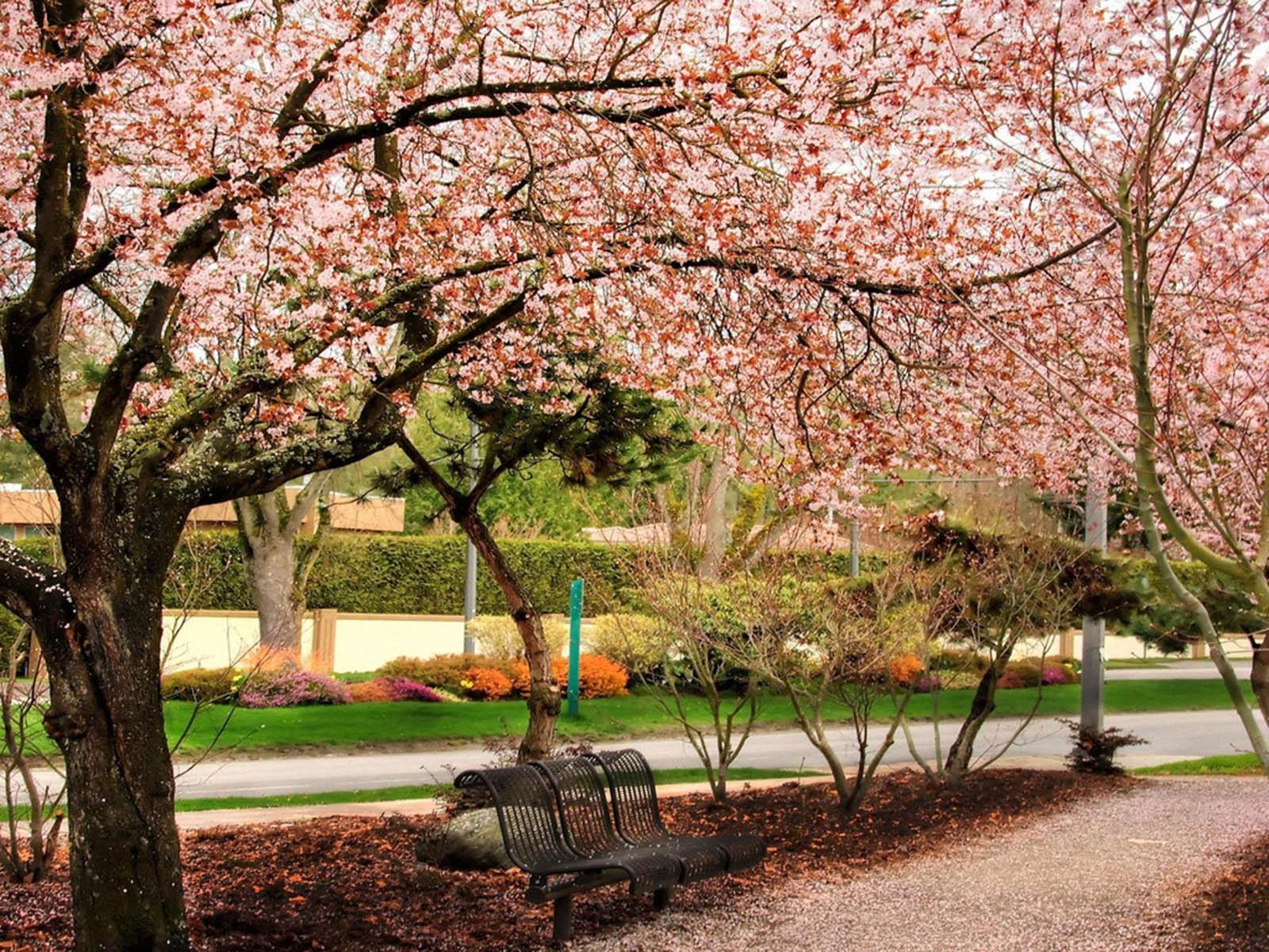 cherry blossem tree background wallpaper - photo #21