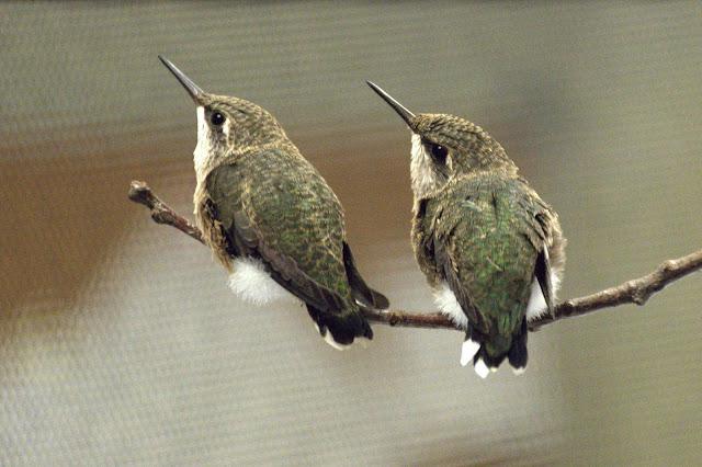 Hummingbird Ottawa Valley Wild Bird Care Centre