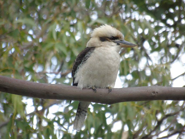 Kookaburra Australia bird