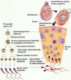 精源細胞の減数分裂期