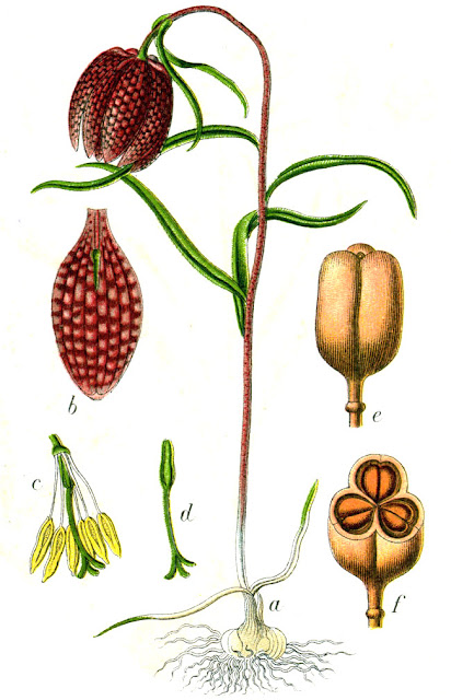 Botanical illustration of Fritillaria meleagris