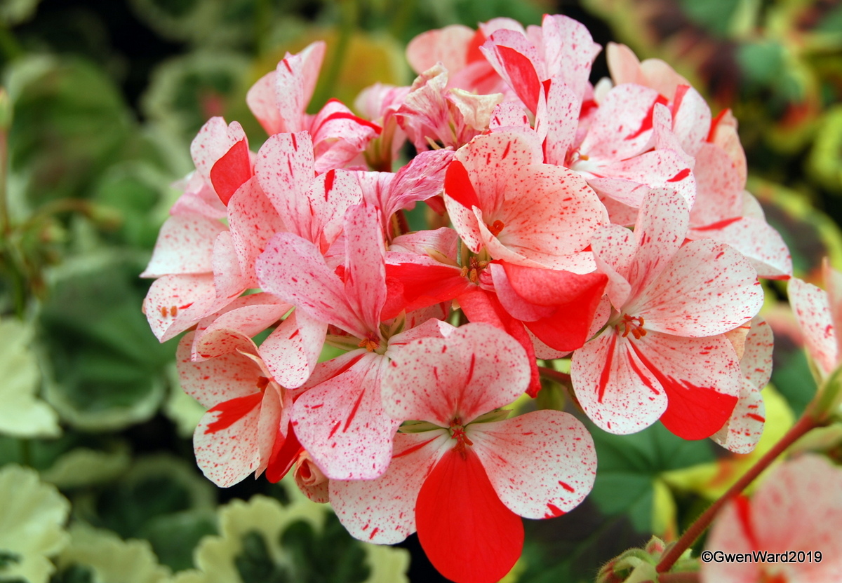 Perfect Pelargoniums