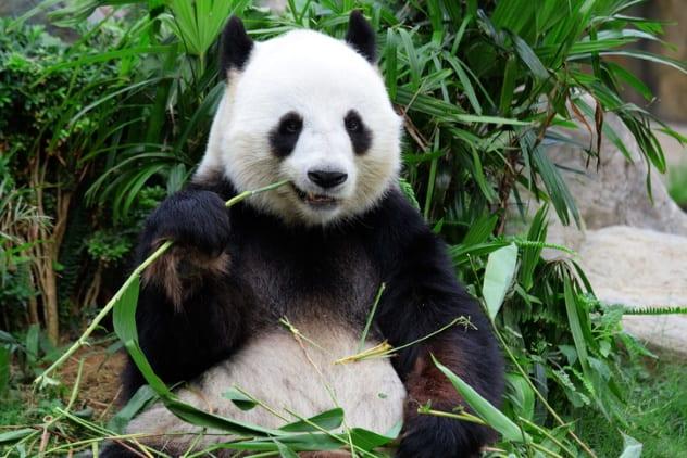 Tinja Panda