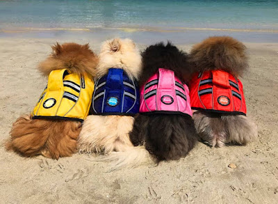 Four Pomeranians on a beach wearing SaltyDOG life jackets in four colours