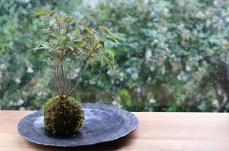 山野草盆栽 生徒さんの作品 ハゼノキの苔玉