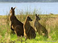 Kangaroos, Paynesville