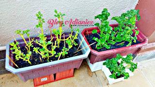 Kebun Mini | Beginilah cara mudah tanam semula bayam brazil