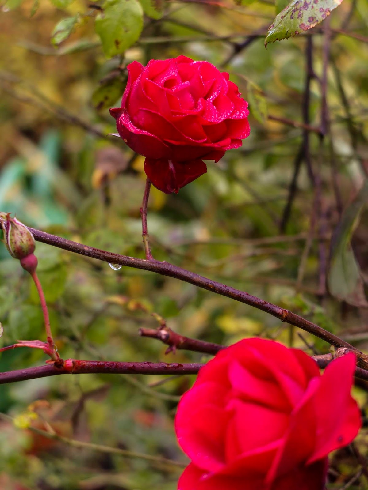 Two red roses among bare branches.