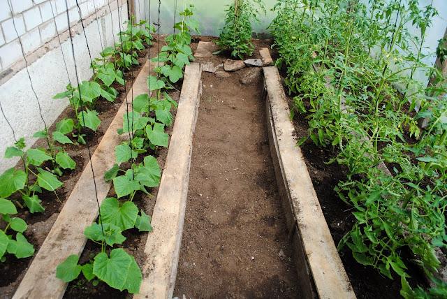 Tomat ja kurk kasvuhoones