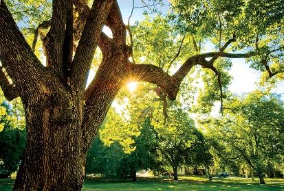 park elm tree
